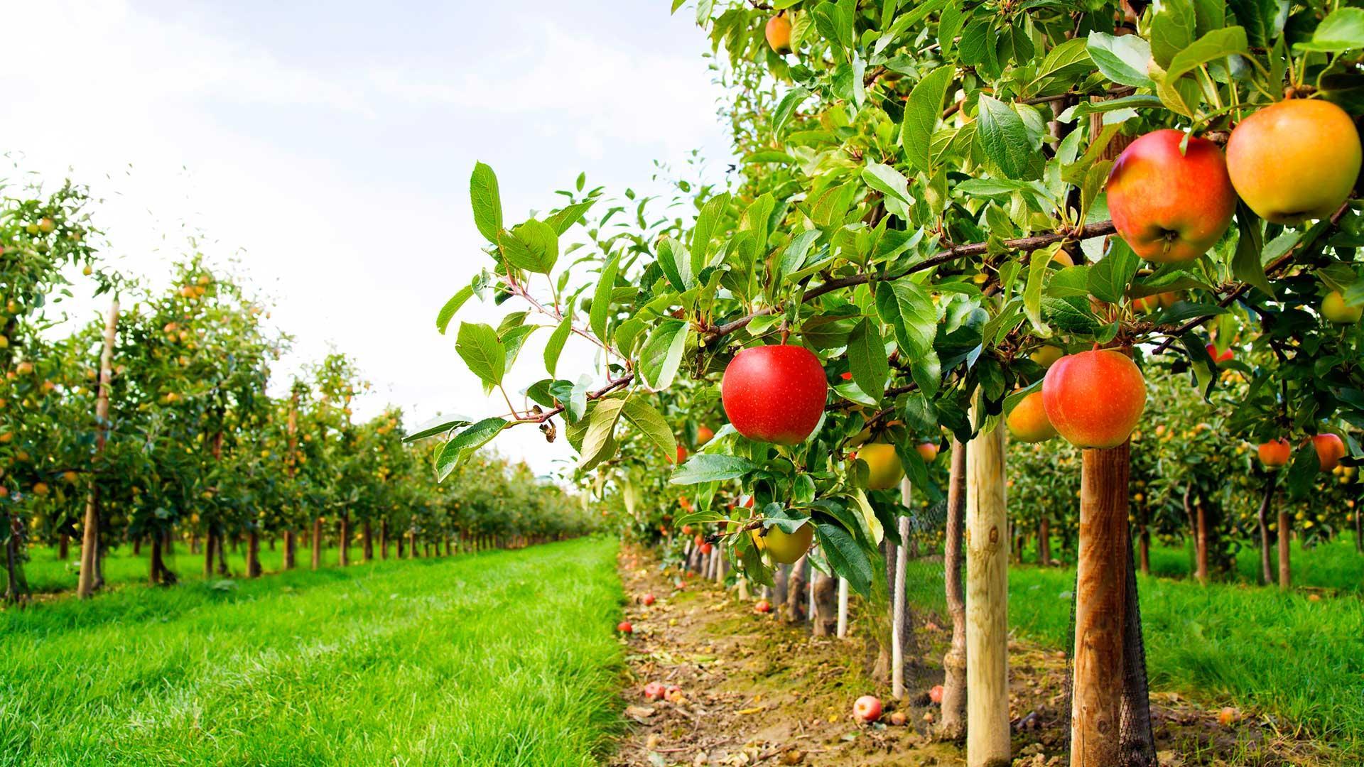 Sökerler Elma Yetiştiriciliği